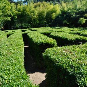 Petit bambou – Semiarundinaria – bambou en pot (7 litres) – hauteur 100/150 cm – PLANTES ET JARDINS – Jardinerie en ligne