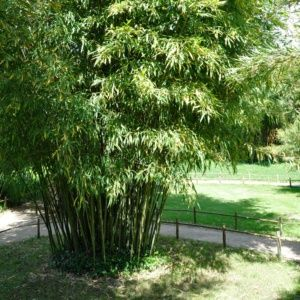 Bambou moyen : Phyllostachys manii – En pot de 3 litres, hauteur 40/80cm