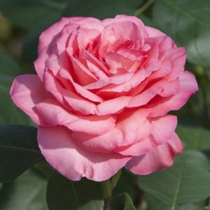 Rosier Panthère Rose® Meicapinal