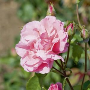 Rosier 'Queen Elisabeth' - Rosier Meilland