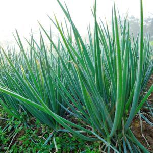Ciboulette de Chine (Allium tuberosum) – Lot de 3 godets de 7 cm