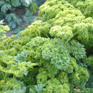 Persil frisé (Petroselinum crispum)