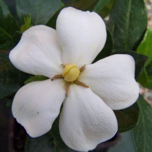 Gardenia d'extérieur 'Kleim's Hardy' – Pot 3 litres