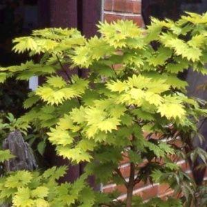 Erable du Japon 'Aureum' (Acer shirasawanum 'Aureum')