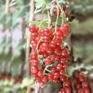 Groseillier à grappes rouges 'London Market' – En pot de 2 litres