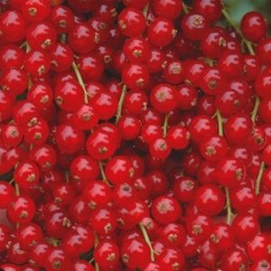 Groseillier 'Jonkheer Van Tets' (Ribes rubrum 'Jonkheer Van Tets')