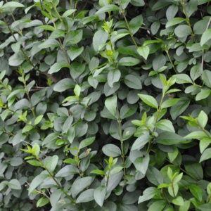 Troène de californie (Ligustrum ovalifolium) – Pot 4 litres, H60/80cm – PLANTES ET JARDINS – Jardinerie en ligne