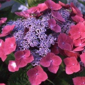 Hortensia 'Buchfink' – pot de 3 litres, 5/7 branches