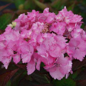 Hortensia 'Cap-Sizun' – pot de 3 litres, 5/7 branches