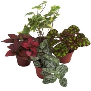 Lot de 4 mini-plantes nuances rouges (assortiment) (Begonia + Hedera + Hypoeste + Phytonia) – PLANTES ET JARDINS – Jardinerie en ligne