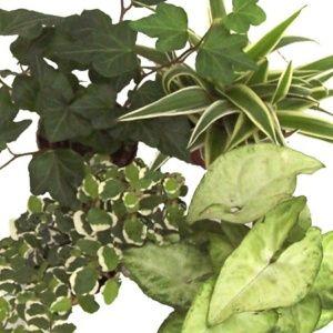 Kit de 4 mini-plantes nuance crème