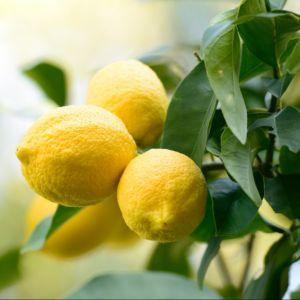 Citronnier des 4 Saisons – Pot de 5 litres, hauteur 40/60 cm – PLANTES ET JARDINS – Jardinerie en ligne