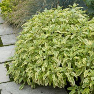 Salvia officinalis aurea – Lot de 3 godets de 7 cm