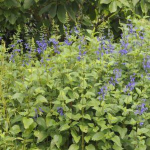 Salvia patens – Lot de 3 godets de 7 cm