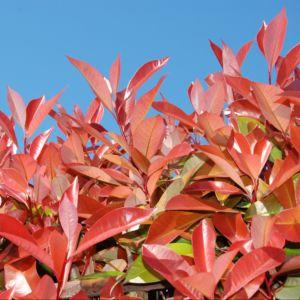 Photinia fraseri Red Robin  Pot de 3L hauteur 30/40 cm Prix dégressif