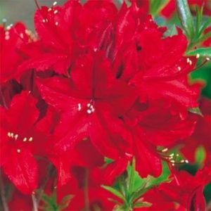 Azalée de Chine 'Wallowa Red' – Pot de 10 litres 50/70 cm, 5/6 ans d'âge