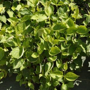 Cornouiller à bois jaune 'Flaviramea'