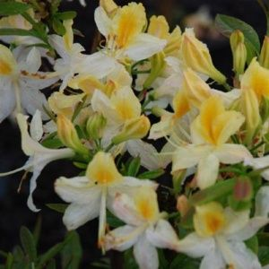 Azalée de Chine 'Northern Hilights' (Rhododendron x 'Northern Hilights')