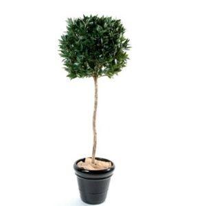 Laurier boule, 1m80 (tronc naturel) + pot classique (Laurus nobilis)
