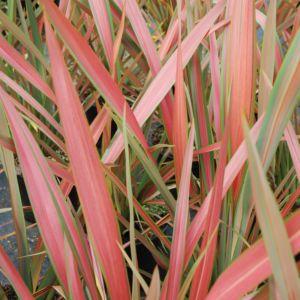 Phormium tenax 'Jester' – Pot de 4/5 litres
