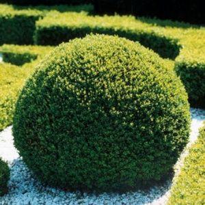 Buis commun en boule (Buxus sempervirens) – Pot de 5 litres, boule de diamètre 25/30 cm