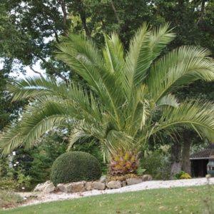 Palmier Phoenix des canaries – Pot de 3 litres – PLANTES ET JARDINS – Jardinerie en ligne