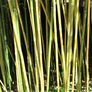 Bambou moyen : Phyllostachys humilis (Phyllostachys humilis)