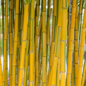 Bambou moyen : Phyllostachys aureosulcata 'Spectabilis' – En pot de 3 litres, hauteur 40/80 cm