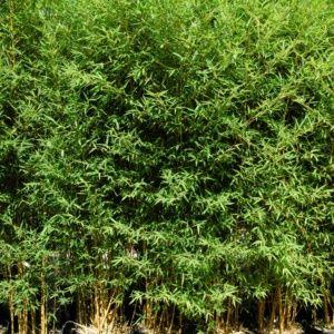 Bambou moyen : Phyllostachys aurea ' Koï '