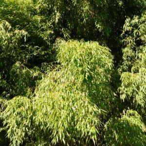 Bambou moyen : Phyllostachys flexuosa – Pot de 3 litres, hauteur 40/80cm