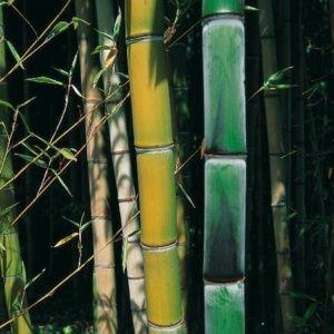 Bambou géant – Phyllostachys viridiglaucescens – En pot de 7 litres – hauteur 100/150 cm – PLANTES ET JARDINS – Jardinerie en ligne
