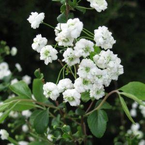 Spirée prunifolia 'Plena' (Spiraea prunifolia 'Pleniflora')