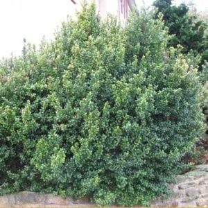 Myrsine africana (Myrsine africana)