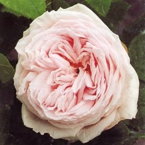 Rosier ancien 'Elisa  Boëlle' (Rosa x 'Elisa  Boëlle')