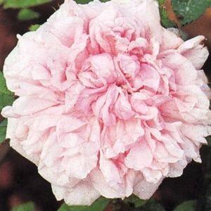 Rosier ancien 'Eugénie Verdier' (Rosa x 'Eugénie Verdier')