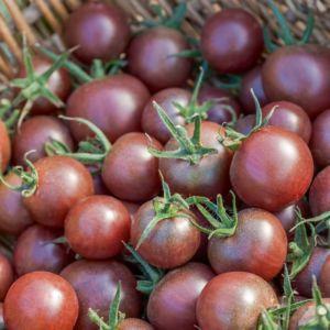 Tomate cerise noire 'Black Cherry'