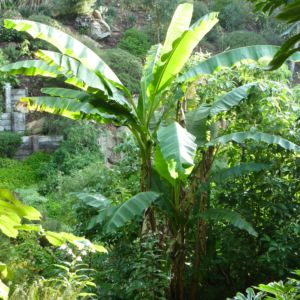 Bananier rustique