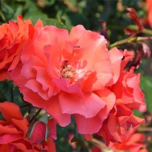 Choisir son rosier grimpant le magazine gamm vert - A quel moment tailler les rosiers ...