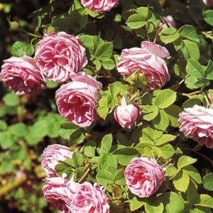 Rosier ancien 'Queen of Bourbons' (Rosa x 'Queen of Bourbons')