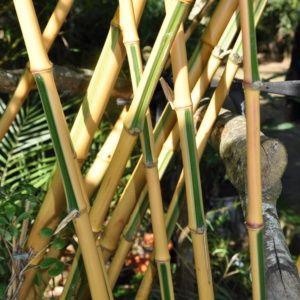 Bambou géant – Phyllostachys 'Castillonis' – En pot (12 litres) – PLANTES ET JARDINS – Jardinerie en ligne