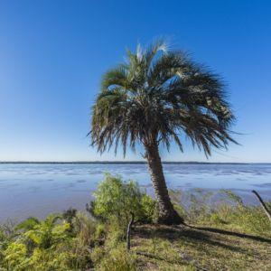 Palmier arbre à laque