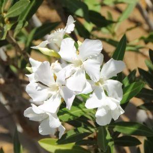Laurier rose à fleurs simples blanches