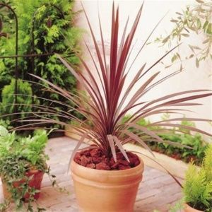 Cordyline australis red star ®