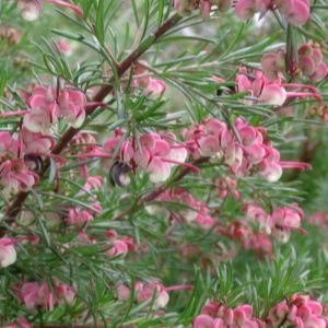Grévilléa à feuilles de romarin 'Jeukensii'