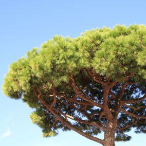 Pin parasol (Pinus pinea) – Hauteur 2m à 2,5m – Pot de 35 litres,