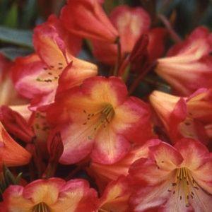 Rhododendron 'Ring of fire' – pot de 5 litres, hauteur 30/50cm, 3 ans d'âge