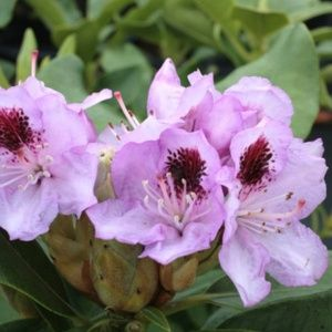 Rhododendron  'Blue Jay' (Rhododendron x  'Blue Jay')