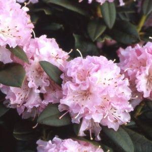 Rhododendron  'Christmas cheer' – pot de 5 litres, hauteur 30/50cm, 3 ans d'âge