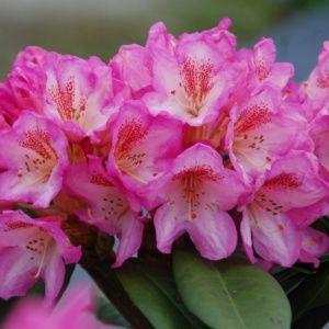 Rhododendron  'Eucharitis' (Rhododendron x  'Eucharitis')