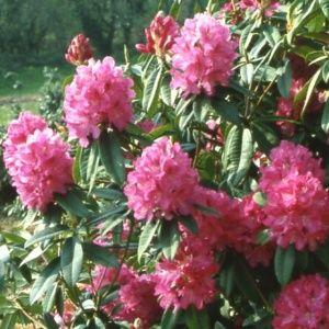 Rhododendron 'Souvenir de J. Broughton'